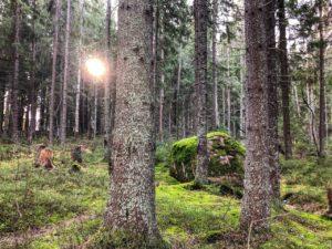 Сосноый лес